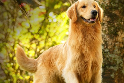 Nossos Goldens Retrievers Golden Sunset's Pascual Butch - Pascoal