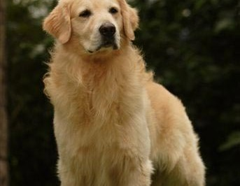 Nossos Goldens Retrievers Tailor Made Rise And Shine - Scotch