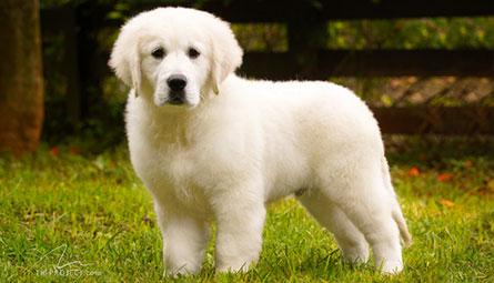 Conheça o Golden Branco no Backfields Goldens Kennel