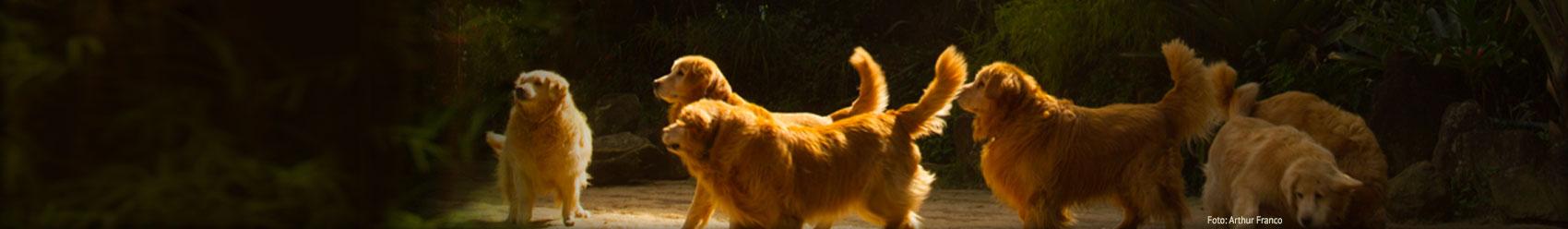 Backfields Goldens