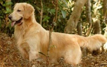 Imagem Ninhada:Br Backfields Golden Trip Blondie